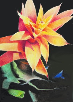 Tuttle Bromeliad, colored pencil painting of a yellow and orange bromeliad Hirdie Girdie Gallery
