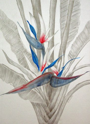 Tuttle White Bird of Paradise, Silverpoing and ink rendering of Bird of Paradise plant,Hirdie Girdie Gallery