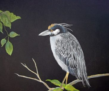 Tuttle, Yellow Crowned Night Heron, colored pencil painting on black background, Hirdie Girdie Gallery